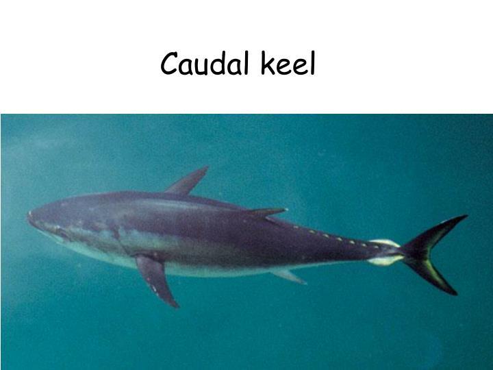 Caudal keel