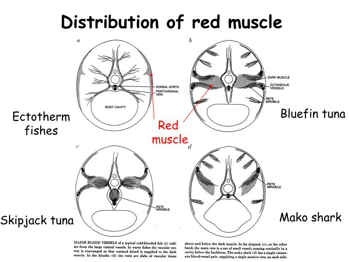 Distribution of red muscle