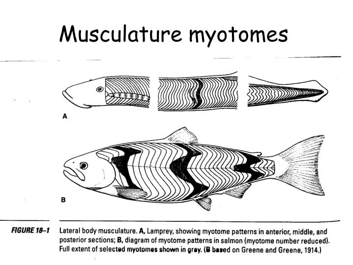 Musculature myotomes