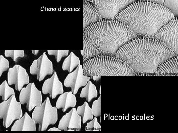 Ctenoid scales