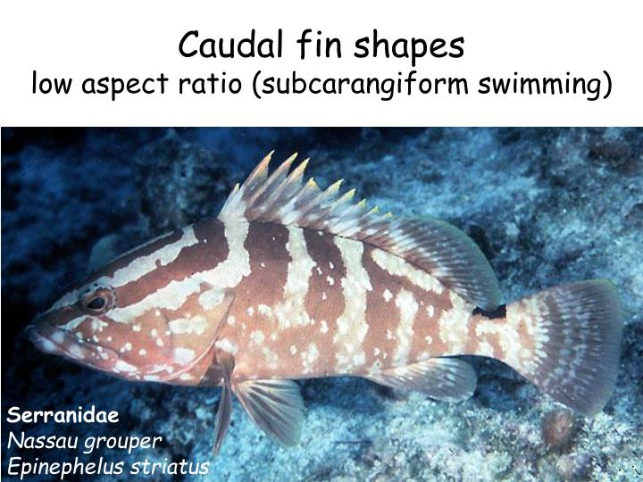 Caudal fin shapes
