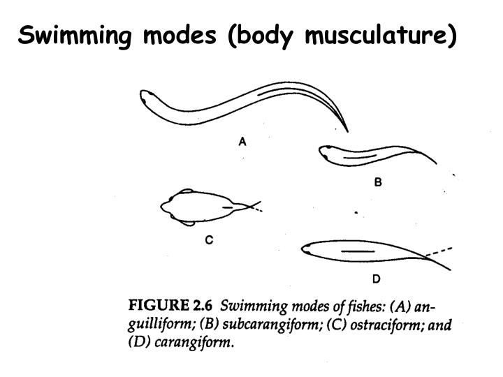 Swimming modes (body musculature)