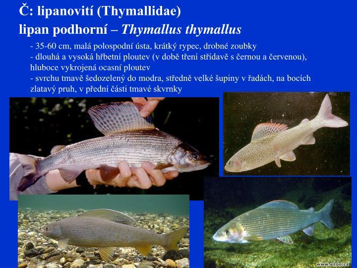Č: lipanovití (Thymallidae)
