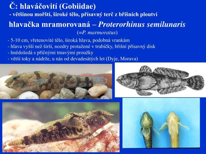 Č: hlaváčovití (Gobiidae)