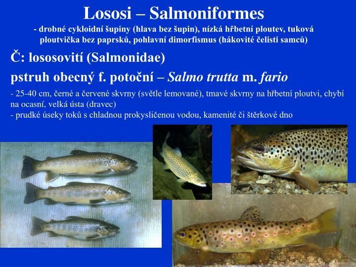 Lososi – Salmoniformes