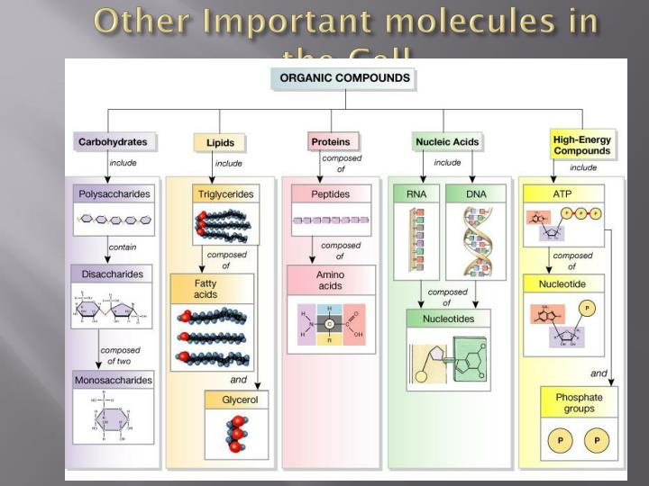 Other Important molecules in the Cell
