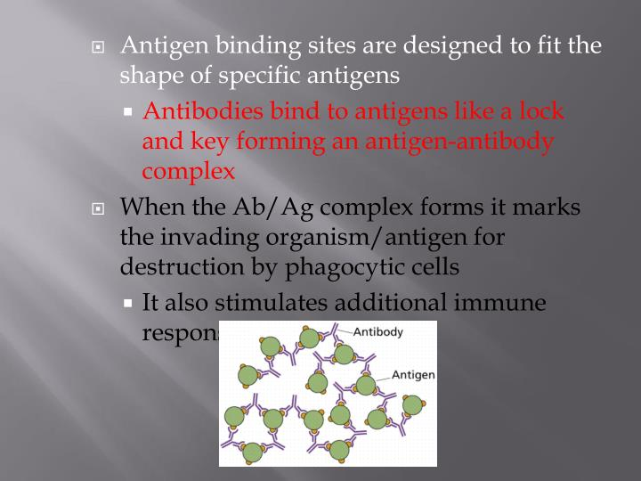 Antigen binding sites are designed to fit the shape of specific antigens