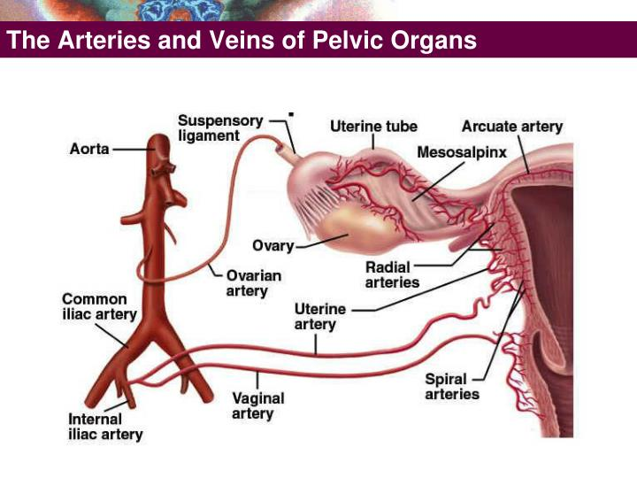 The Arteries and Veins of Pelvic Organs