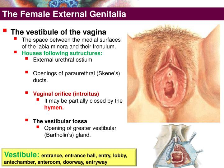 The Female External Genitalia