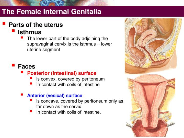 The Female Internal Genitalia