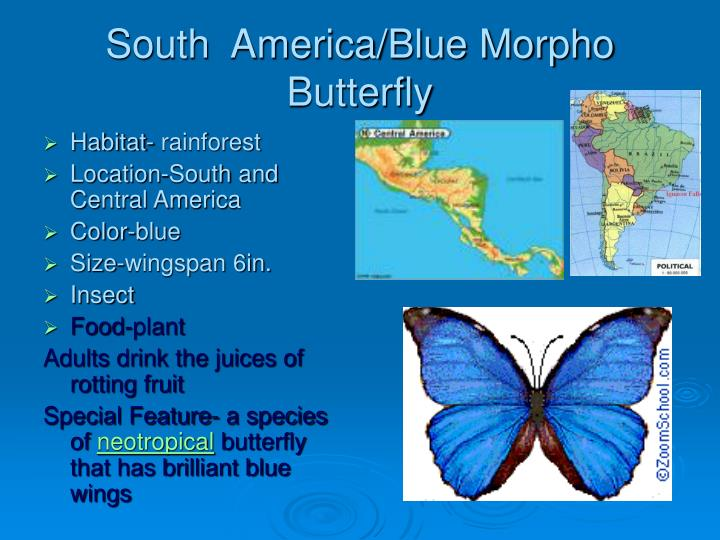 South  America/Blue Morpho Butterfly