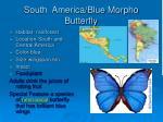 south america blue morpho butterfly