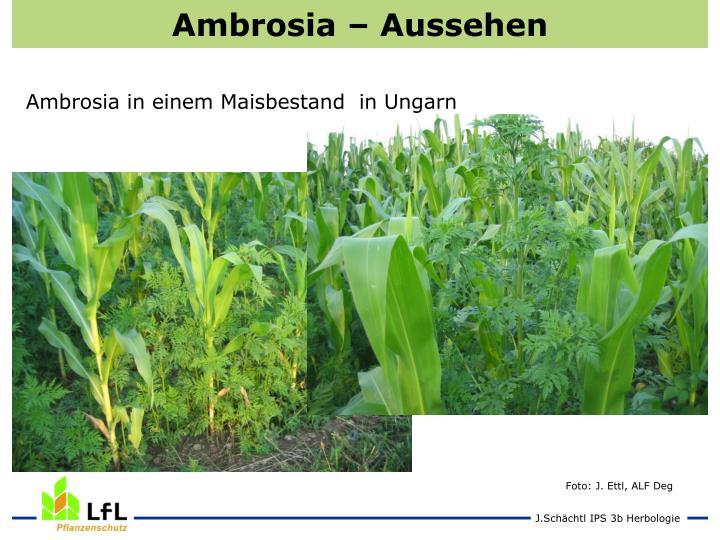Ambrosia – Aussehen