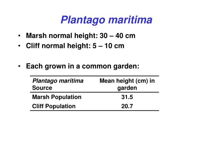 Plantago maritima