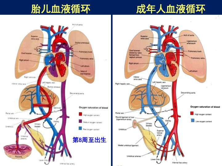 胎儿血液循环