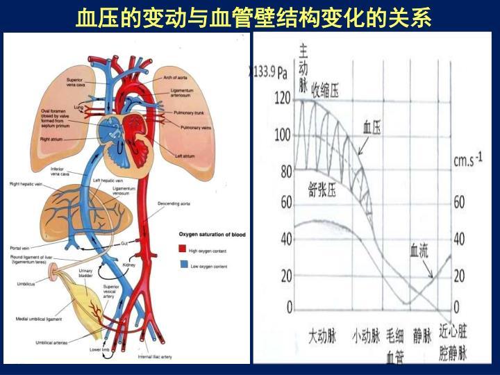 血压的变动与血管壁结构变化的关系