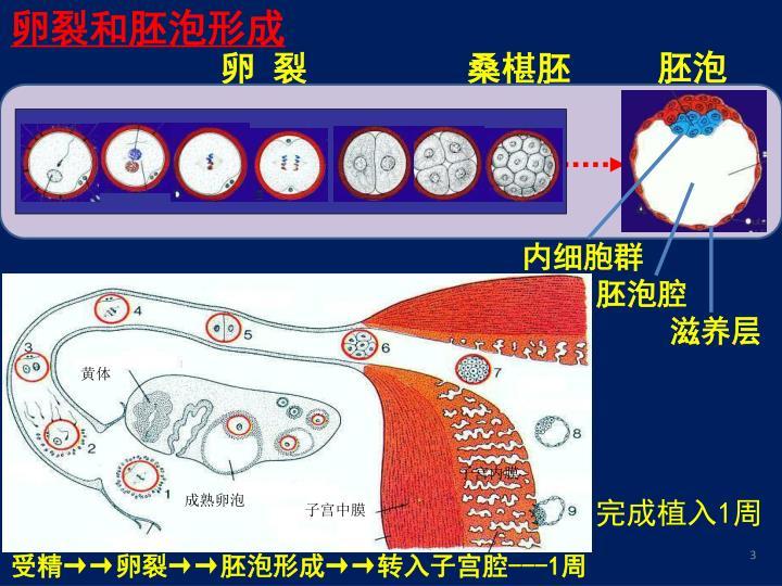 卵裂和胚泡形成