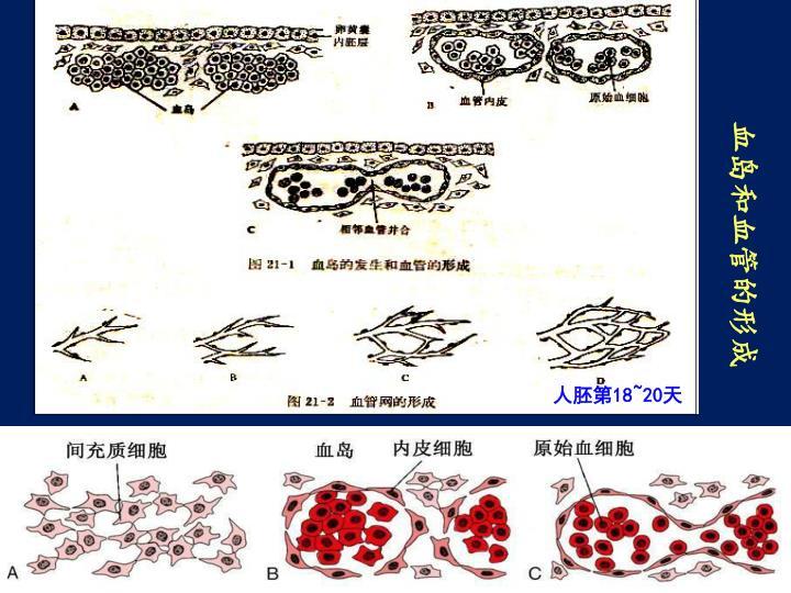 血岛和血管的形成