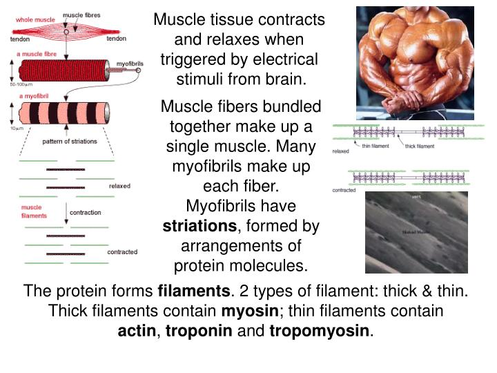 Muscle tissue contracts