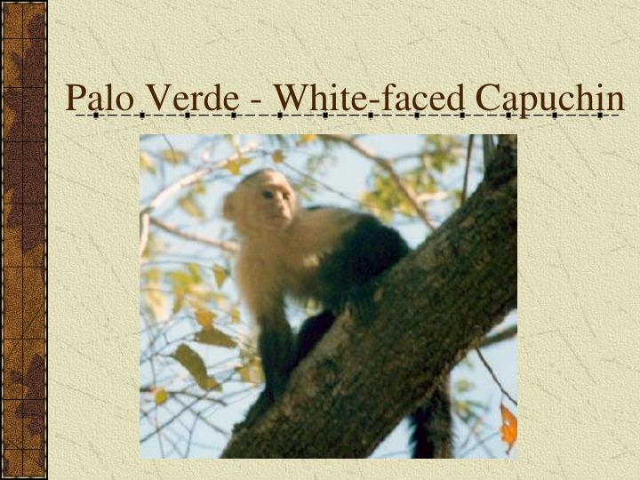 Palo Verde - White-faced Capuchin