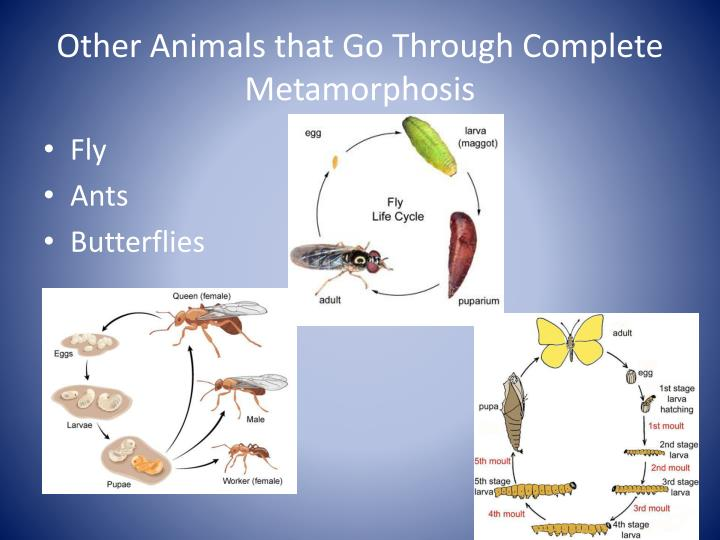 Other Animals that Go Through Complete Metamorphosis