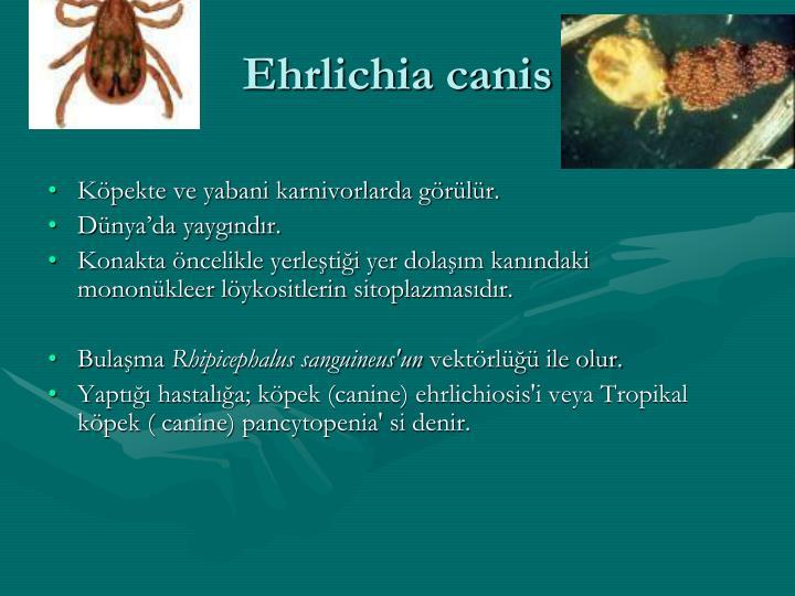 Ehrlichia canis