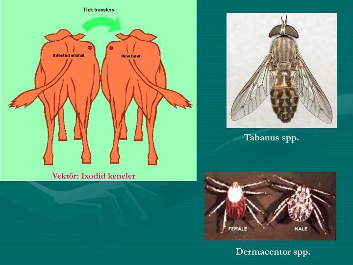 Tabanus spp.