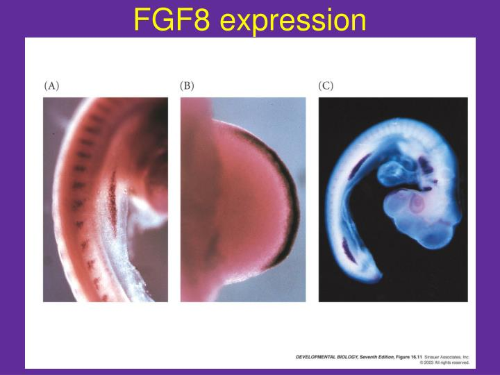 FGF8 expression