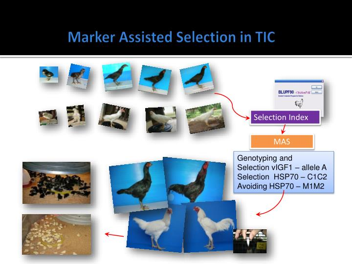 Marker Assisted Selection in TIC