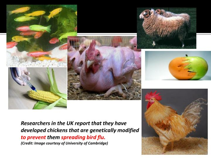 Researchers in the UK report that they have developed chickens that are genetically modified