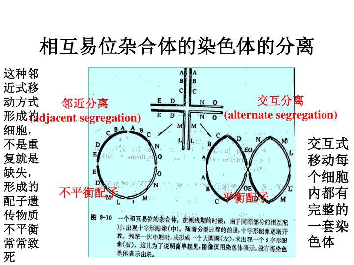 相互易位杂合体的染色体的分离
