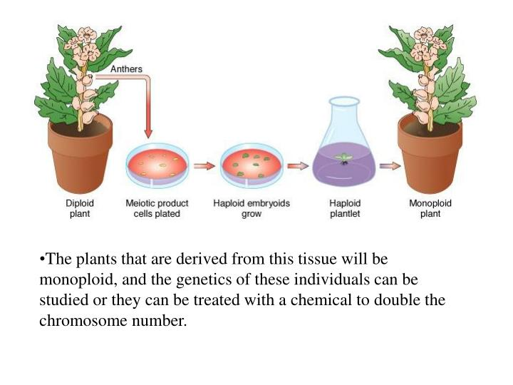 The plants that are derived from this tissue will be monoploid, and the genetics of these individuals can be studied or they can be treated with a chemical to double the chromosome number.