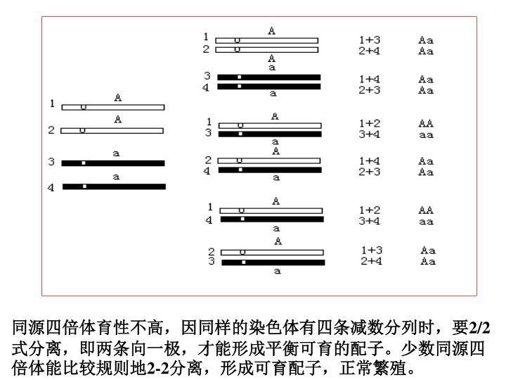 同源四倍体育性不高,因同样的染色体有四条减数分列时,要