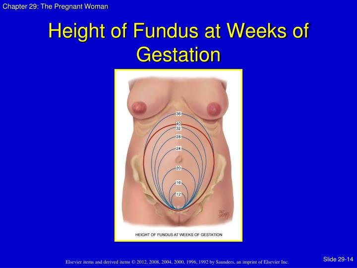 Height of Fundus at Weeks of Gestation