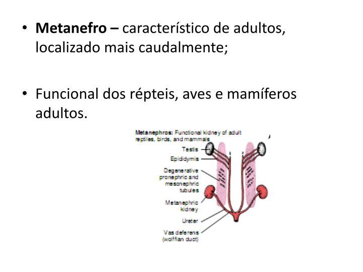 Metanefro –