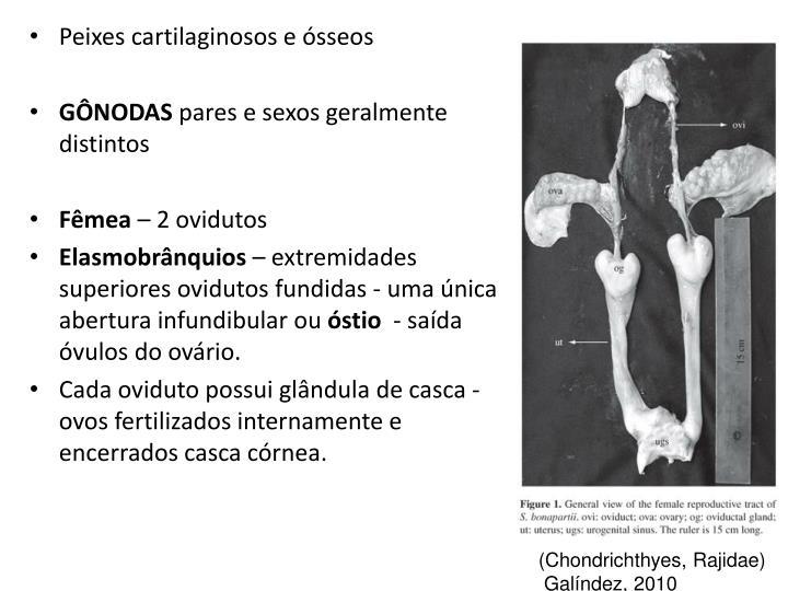 Peixes cartilaginosos e ósseos
