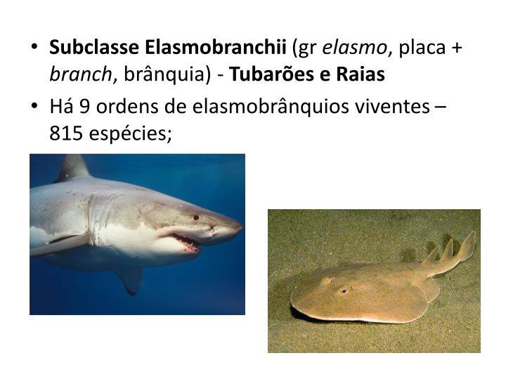 Subclasse Elasmobranchii
