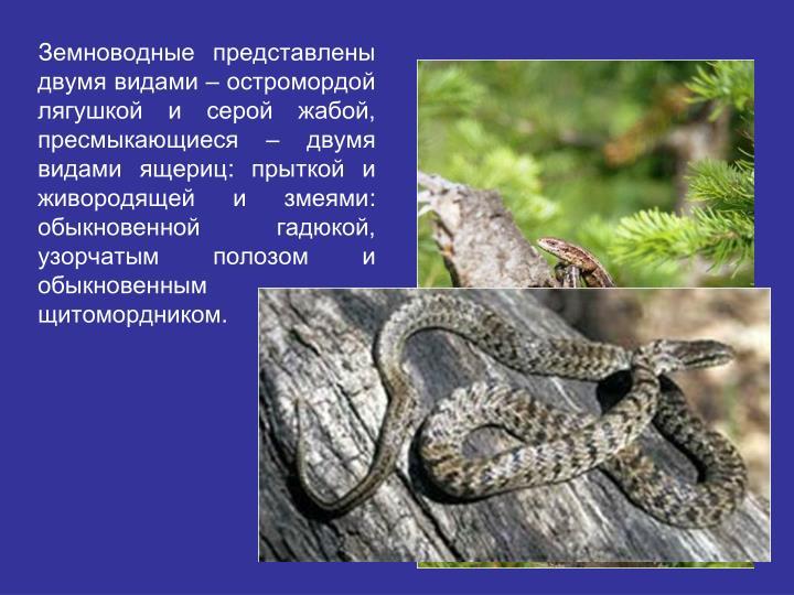 Земноводные представлены двумя видами – остромордой лягушкой и серой жабой, пресмыкающиеся – двумя видами ящериц: прыткой и живородящей и змеями: обыкновенной гадюкой, узорчатым полозом и обыкновенным щитомордником.