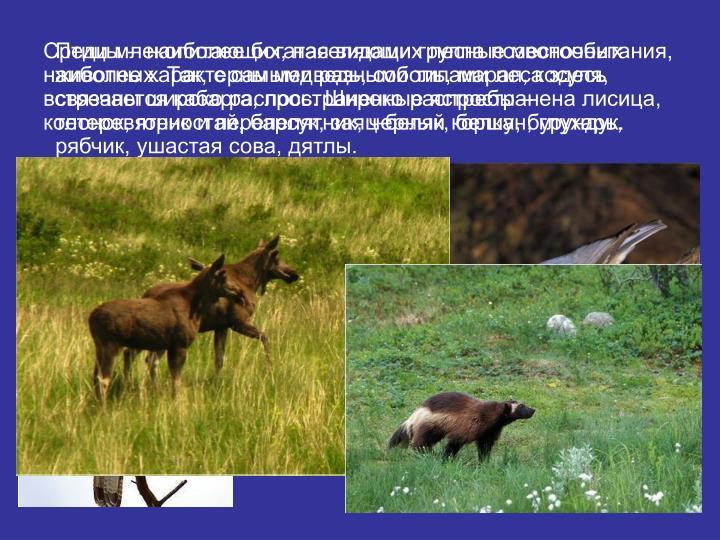 Среди млекопитающих, населяющих лесные местообитания, наиболее характерны медведь, соболь, марал, косуля, встречается кабарга, лось. Широко распространена лисица, колонок, горностай, барсук, заяц-беляк, белка, бурундук.