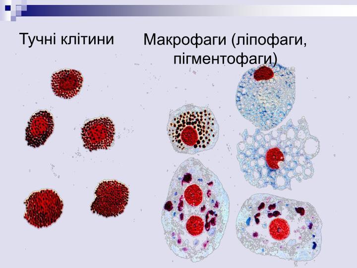 Тучні клітини