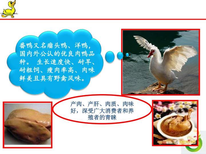 番鸭又名瘤头鸭、洋鸭,国内外公认的优良肉鸭品种。 生长速度快、耐旱、耐粗饲、瘦肉率高、肉味鲜美且具有野禽风味。