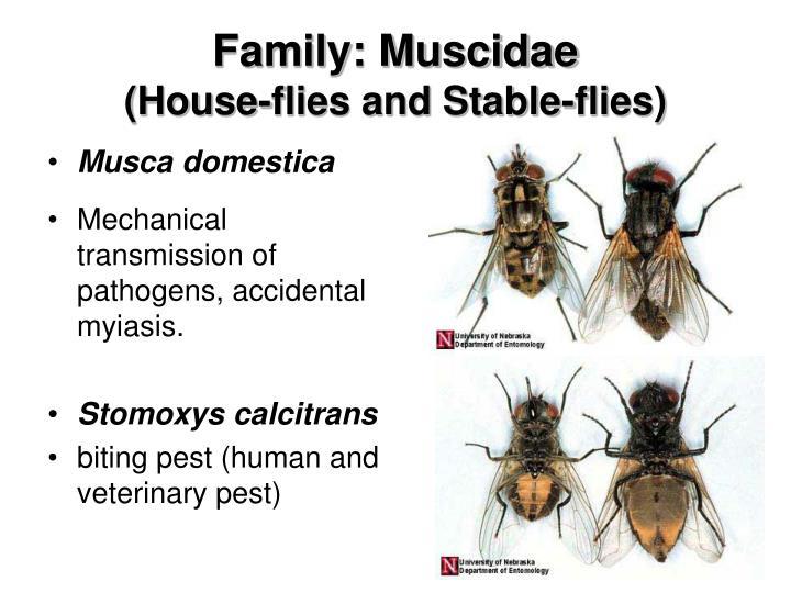 Family: Muscidae