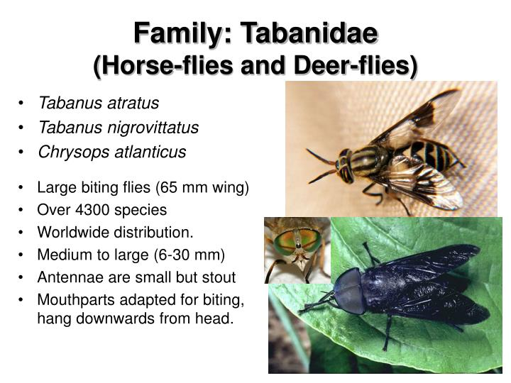 Family tabanidae horse flies and deer flies