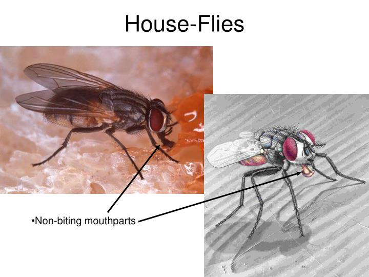 House-Flies