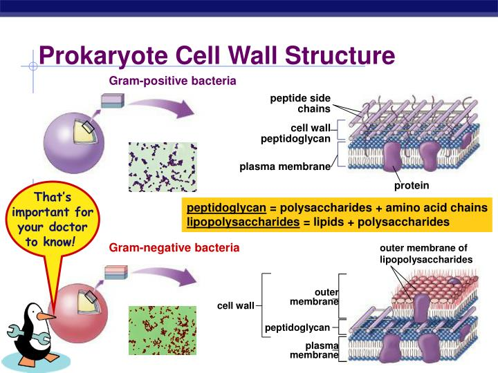 outer membrane of