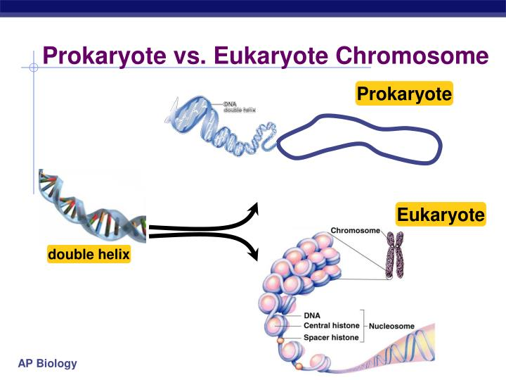 Prokaryote vs. Eukaryote Chromosome