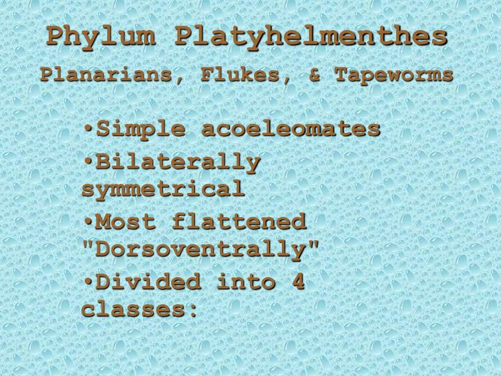Phylum platyhelmenthes planarians flukes tapeworms