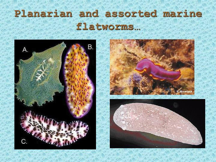 Planarian and assorted marine flatworms