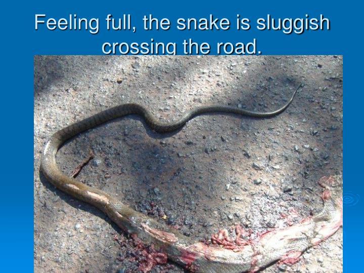 Feeling full, the snake is sluggish crossing the road.