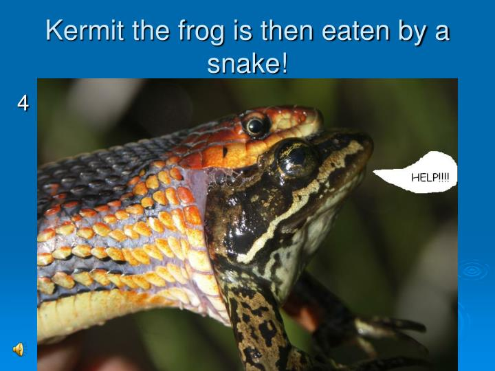 Kermit the frog is then eaten by a snake!